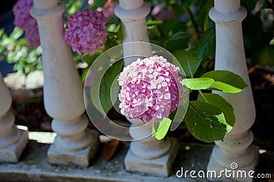 Pink hydrangea bush