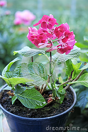 Free Pink Hydrangea In A Pot Stock Photography - 73182682