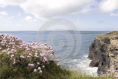 Pink Irish wildflowers on the cliff top