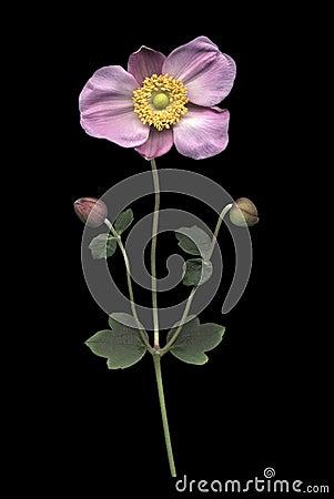 Free Pink Japanese Anemone On Black Stock Photo - 21270870