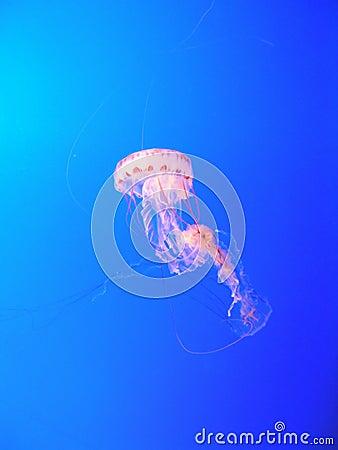 Free Pink Jellyfish Royalty Free Stock Photo - 39355
