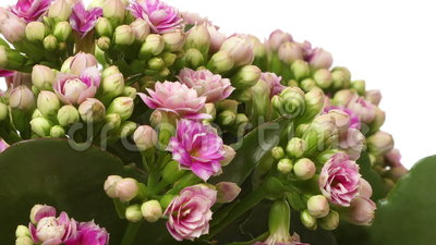 Pink Kalanchoe Flower Time-lapse stock footage