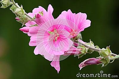 Pink lavateria olbia