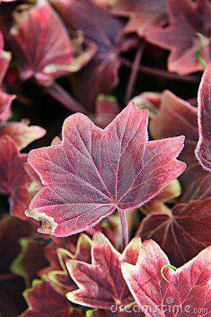 Pink leafy plant