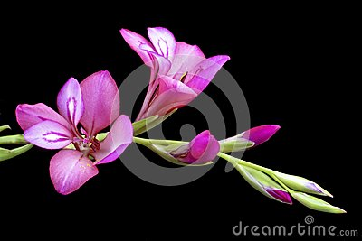 Pink lily blossoming