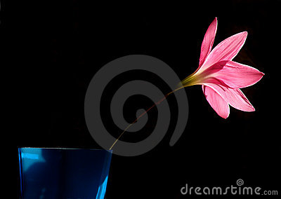 Pink Lily flower in bloom
