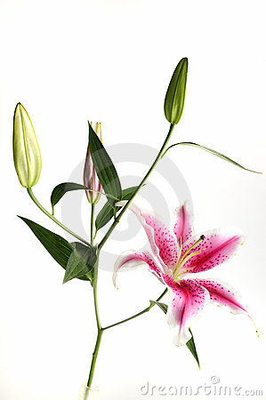 Pink Lily Flower Isolated On White Royalty Free Stock Image - Image: 19546286