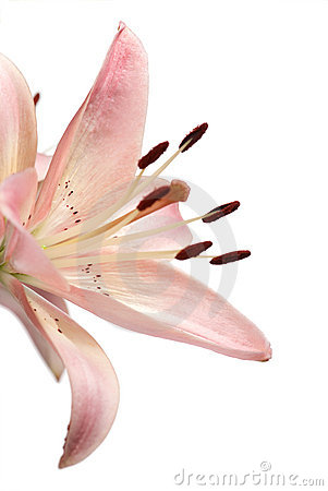 Pink lily on white