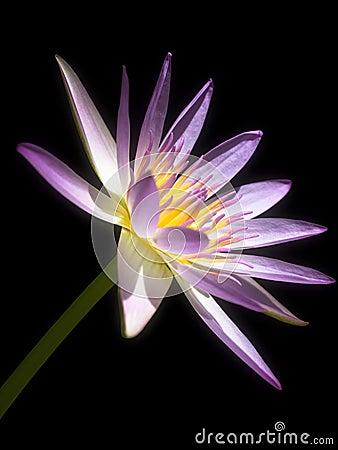 Free Pink Lotus Royalty Free Stock Photography - 15330387