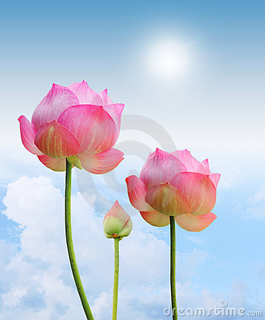Free Pink Lotus Royalty Free Stock Images - 20716319