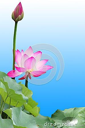 Free Pink Lotus Royalty Free Stock Images - 6180179
