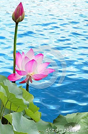 Free Pink Lotus Stock Images - 6180294