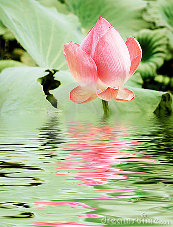 Free Pink Lotus Royalty Free Stock Images - 6331319