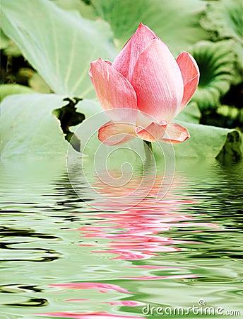 Free Pink Lotus Royalty Free Stock Images - 6331319
