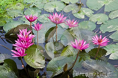 Pink Lotus blooming .