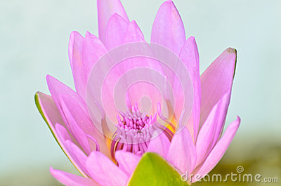 Pink lotus blooming