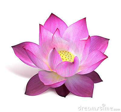pink lotus flower stock photography  image, Beautiful flower