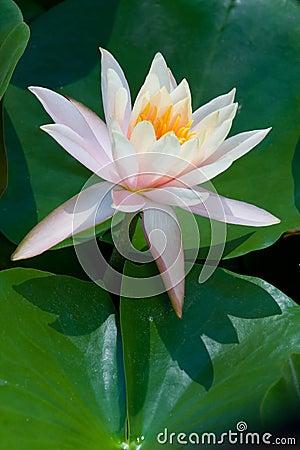 Pink lotus flower