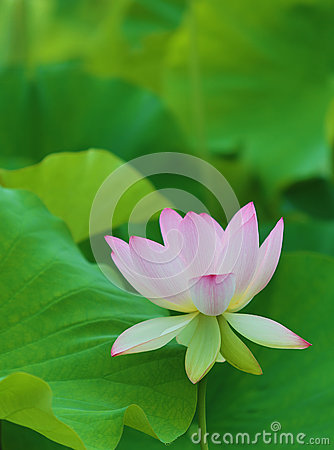 pink lotus flower and leaves stock photo image 31989030