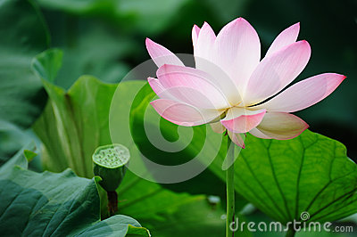 Pink Lotus flower with Seed Pod