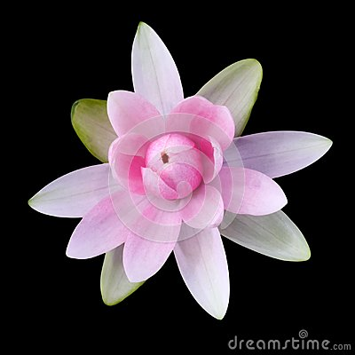 Free Pink Lotus Isolated Stock Photos - 101310363