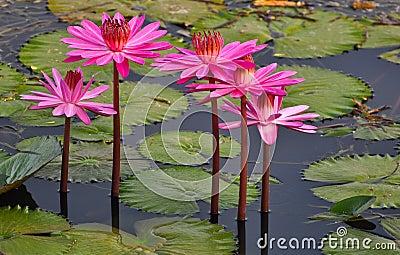 Pink Lotus in a lake