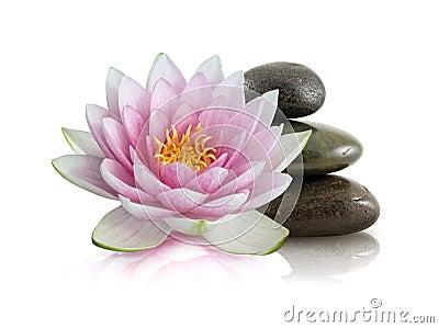 Pink Lotus and Polished Stones