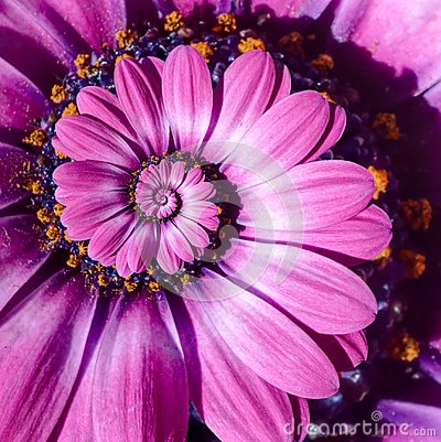 Free Pink Magenta Camomile Daisy Flower Spiral Abstract Fractal Effect Pattern Background. Floral Spiral Abstract Pattern Fractal Royalty Free Stock Photo - 105117505