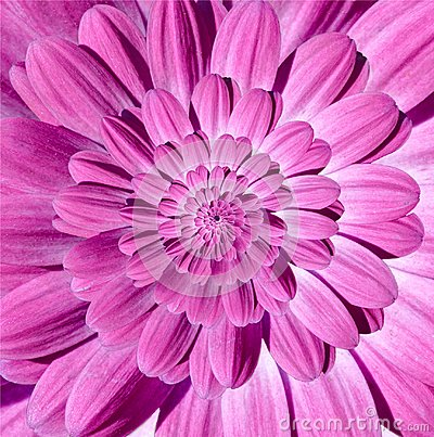 Free Pink Magenta Camomile Daisy Flower Spiral Petals Abstract Fractal Effect Pattern Background. Floral Spiral Abstract Pattern Swirl Royalty Free Stock Photography - 105117687