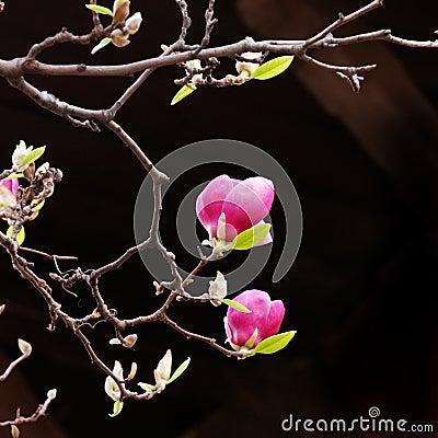 Pink Magnolia Blooms