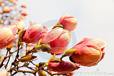 Pink magnolia blossoms with raindrops and wind