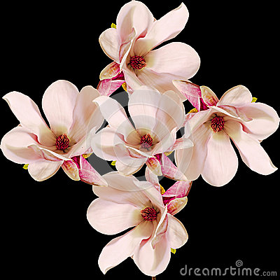 Free Pink Magnolia Branch Flowers, Close Up, Floral Arrangement, Isolated Royalty Free Stock Photography - 57224297
