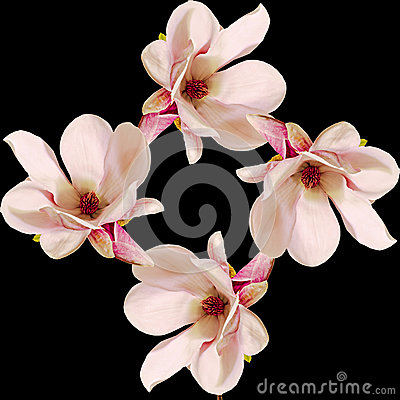 Free Pink Magnolia Branch Flowers, Close Up, Floral Arrangement, Isolated Stock Photography - 57224682