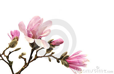 Pink magnolia flowers isolated on white