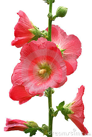 Free Pink Mallow Stock Images - 3567434