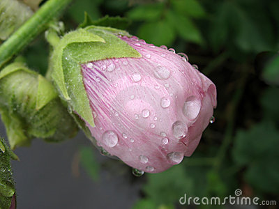 Pink mallow bud in raindrops