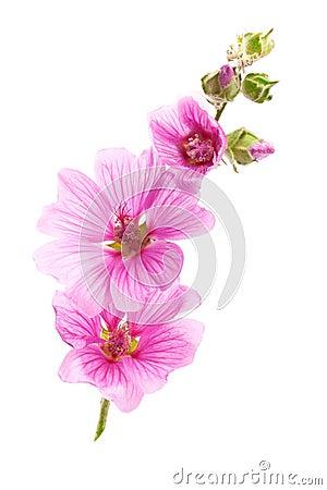 Free Pink Malva Flowers Stock Photography - 15075362