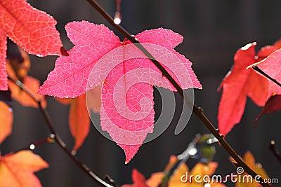 Pink fall leaf maple tree