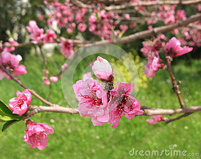 Pink Nectarine Flowers and Bud
