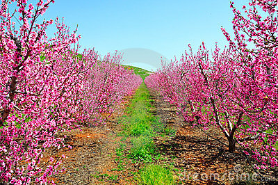Pink Nectarine Trees, Israel