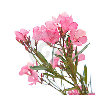 Free Pink Oleander Royalty Free Stock Photography - 9257587
