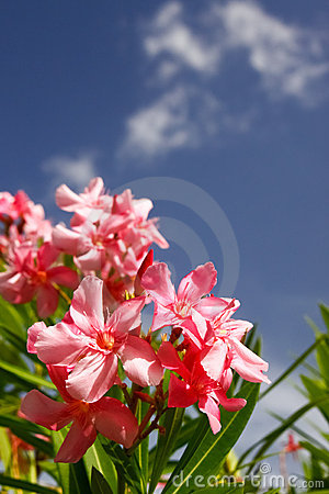 Pink Oleander Flowers, Blue Skies, White Clouds