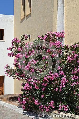 Pink Oleander in Koutouloufari.