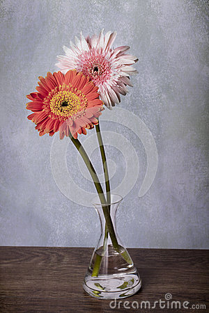 Pink And Orange Gerber Daisies In Clear Vase Royalty Free ...