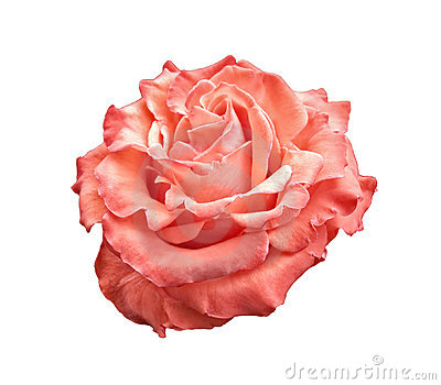 Pink and orange rose isolated on white
