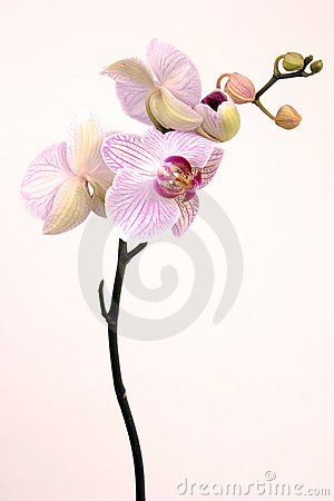Free Pink Orchid Stock Images - 2130574