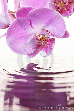 Free Pink Orchid Royalty Free Stock Image - 23562836