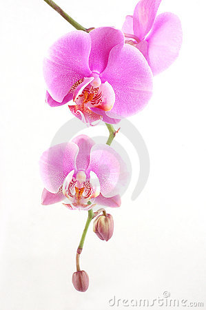 Free Pink Orchid Stock Images - 2430794
