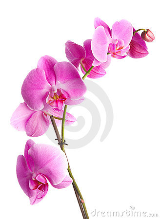 Free Pink Orchid Stock Photos - 2819983