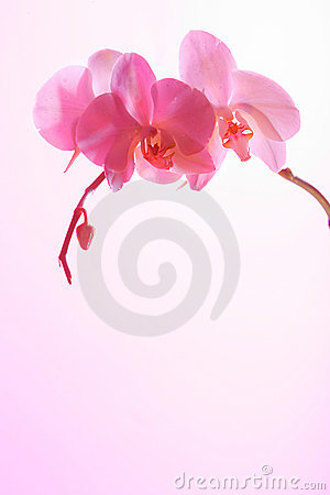 Free Pink Orchid Royalty Free Stock Photography - 622387